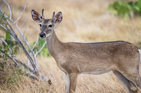 image of bucks  - South Texas Yearling Buck spike standing in a field facing to the left - JPG