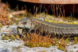 pic of lizards  - The viviparous lizard or common lizard  sitting on a rock - JPG