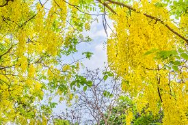 picture of cassia  - image of Golden Shower flower  - JPG