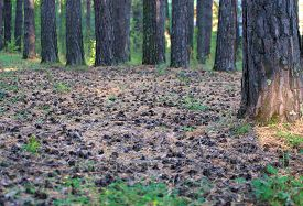 picture of pine-needle  - Pine forest in the town park a lot of pine cones on the carpet of pine needles - JPG