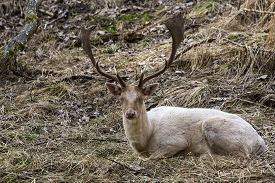 stock photo of bucks  - Albino buck deer sits in the forest - JPG