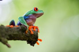 image of red eye tree frog  - red eyed tree frog Costa Rica tropical rain forest animal - JPG