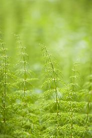 stock photo of horsetail  - Equisetum sylvaticum, Wood horsetail in a Finnish forest