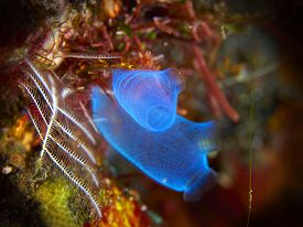 picture of squirt  - Tropical coral reef with sea squirt in Bali Indonesia - JPG