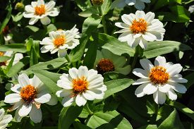stock photo of zinnias  - Colorful and crisp image of narrowleaf zinnia  - JPG