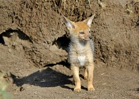 stock photo of jackal  - A Baby jackal standing outside his den waiting for his Mum to return - JPG