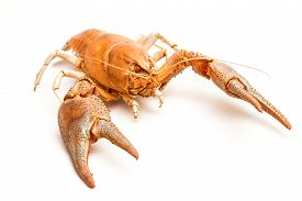 picture of cooked crab  - A cooked lobster crab isolated on white background - JPG