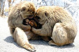 foto of gibraltar  - Two monkeys nursing their child in Gibraltar - JPG