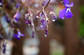 stock photo of lobelia  - Lobelias dripping with water after a rain shower - JPG