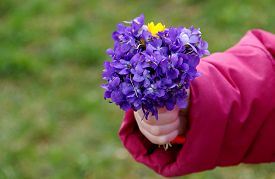 pic of viola  - Posy of flowers Viola odorata in hand a little girl - JPG