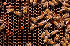 image of honeycomb  - Busy bees close up view of the working bees on honeycomb - JPG