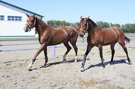 stock photo of fillies  - Beautiful filly Hanoverian and Trakehner breed in feedlot paddock horses - JPG