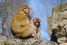image of macaque  - Adult Female Barbary Macaque With  Cub - JPG