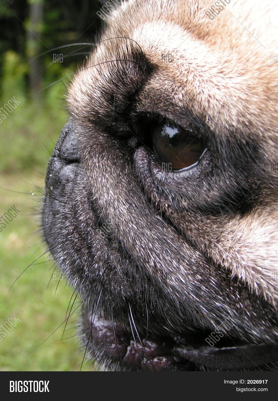 close up side view pug dog face stock photo stock images bigstock. Black Bedroom Furniture Sets. Home Design Ideas