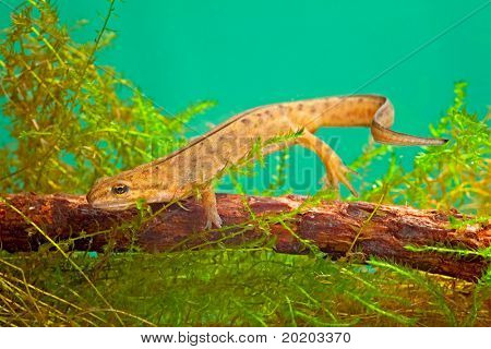 newt swimming under water aquatic animal amphibian of small freshwater ponds endangered species and protected by nature conservation smoot newt or Lissotriton vulgaris