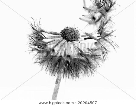 monochrome macro photo of a dandelion dispersing its seed isolated on white background