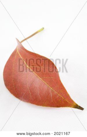 Single Fallen Leaf