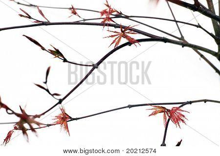 encantadora imagen abstracta de ramas con tinto joven hojas sobre fondo blanco