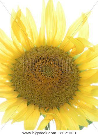 Close-Up Sunflower
