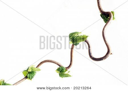 encantadora imagen abstracta de ramas nudosas con hojas jóvenes contra el fondo blanco