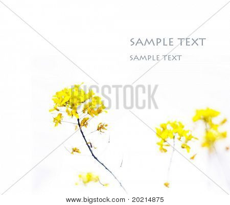 abstract image of yellow flowers against white background (deliberate use of very shallow depth of field)