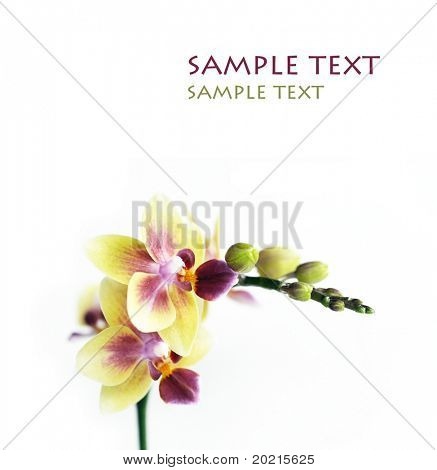 close-up of a beautiful orchid against white background