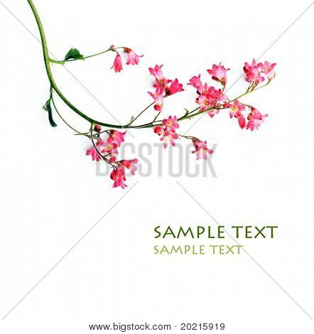 beautiful red flowers against white background