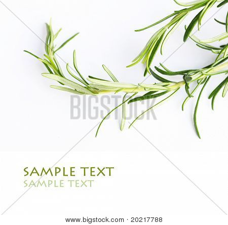 rosemary against white background