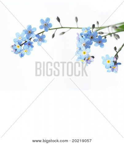 beautiful blue flowers (forget-me-nots) against white background