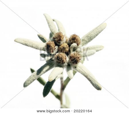 rare and unusual flower called edelweiss