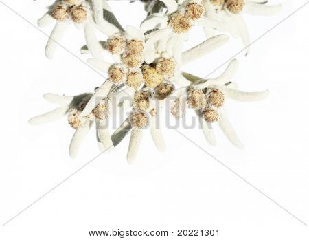 lovely unusual flowers called edelweiss