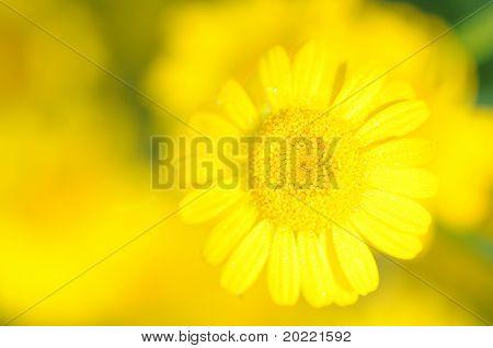 tiro de vívido foco suave de flora amarela (uso deliberado de profundidade de campo)
