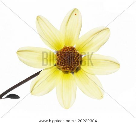 beautiful yellow flower against white background