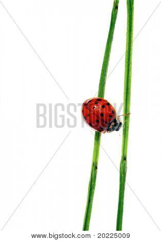 lovely lady bug on flora against white background