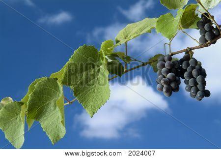 schwarze Trauben am Weinstock gegen wolkenlos blauen Himmel