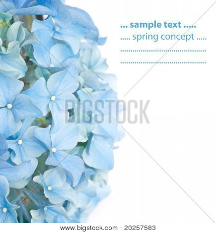 lebendige blau Feder Flora (Hydrangea Macrophylla)