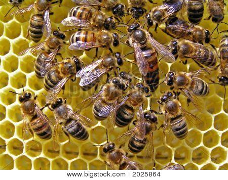 Hostess Of Bee Family.