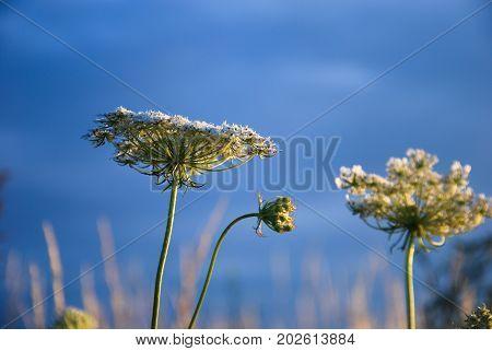 Wild carrot flower head closeup by a blue sky