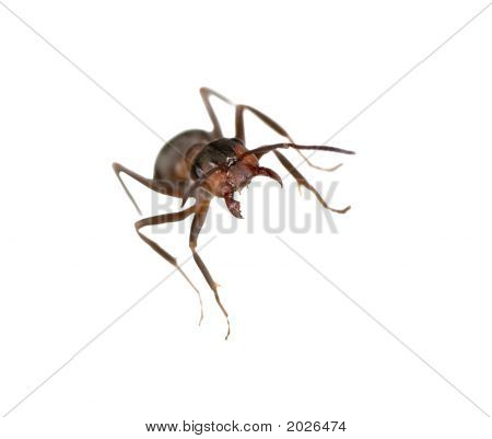 Small Forest Ant