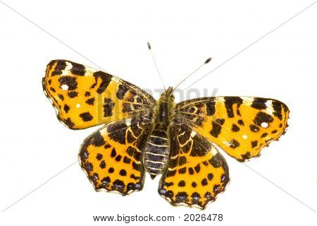 Isolated Map Butterfly