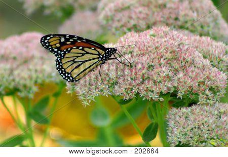 Monarch Buttefly