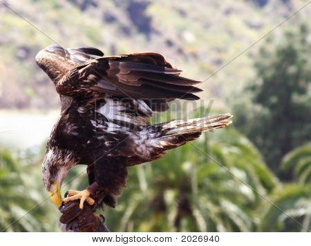Immature American Eagle