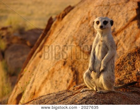 Suricate Sunset