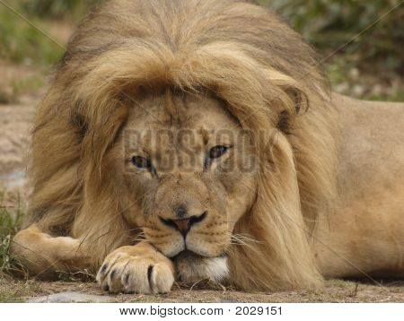 African Lion Portrait 3