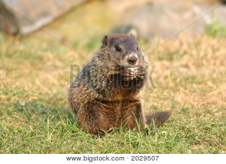 Gopher Eating