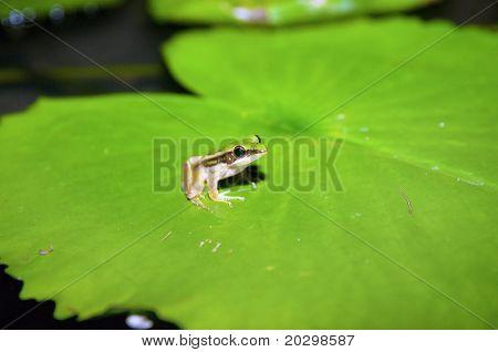 grren frog on lilypad