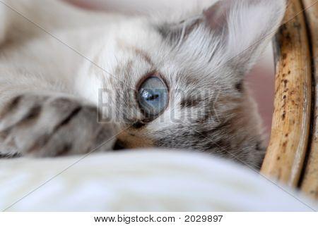 Peeping Kitten