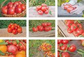 Colorful Collage Of Ripe Tomatoes poster