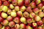 picture of apple orchard  - a shot of many crisp winter apples freshly harvested ready for sale - JPG
