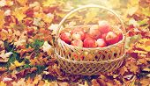 farming, gardening, harvesting and people concept - wicker basket of ripe red apples at autumn garde poster